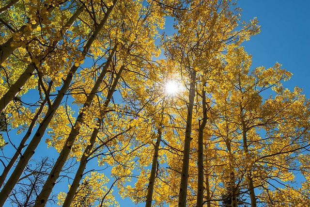 aspen trees in fall backlit by sun