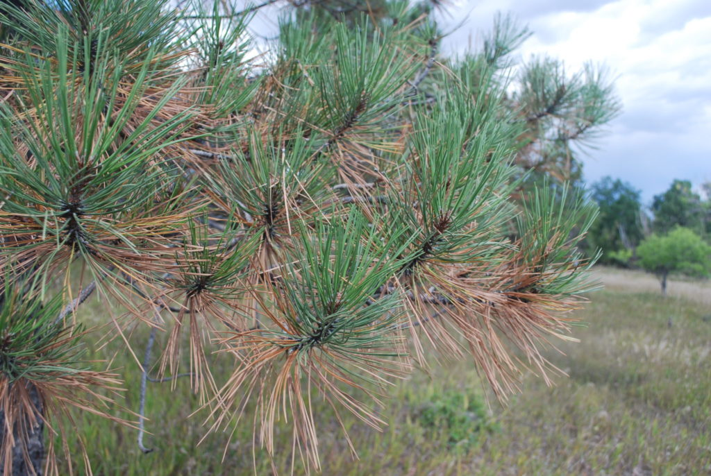 Close-up of pine needles