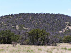 pinyon trees on hillside