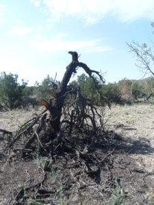 dead pinyon pine tree