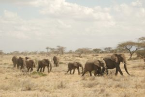 color photo of a mother elephant walking with her calves, followed by orphan elephants