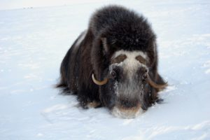 close-up photo of a muskoxen in the snow in Alaska