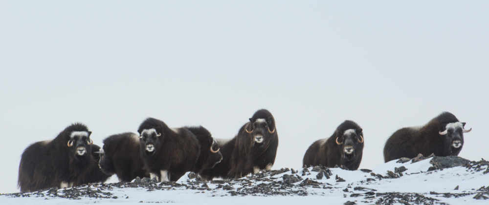 color photo of seven muskoxen on Wrangel Island
