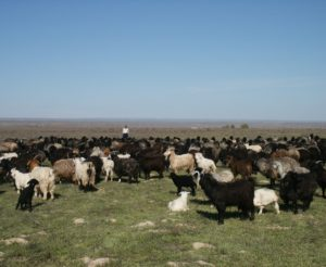 sheep in kazakhstan