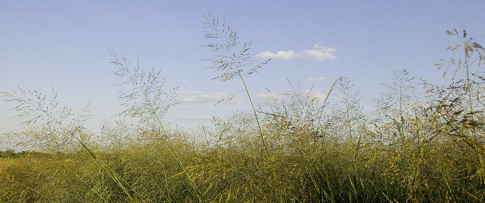 color photo of switchgrass with blue sky and cloud in background