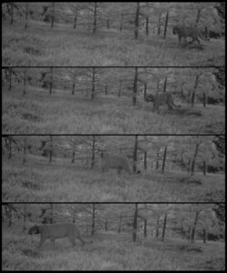 black and white photo, four frames of a mountain lion captured via a remote camera
