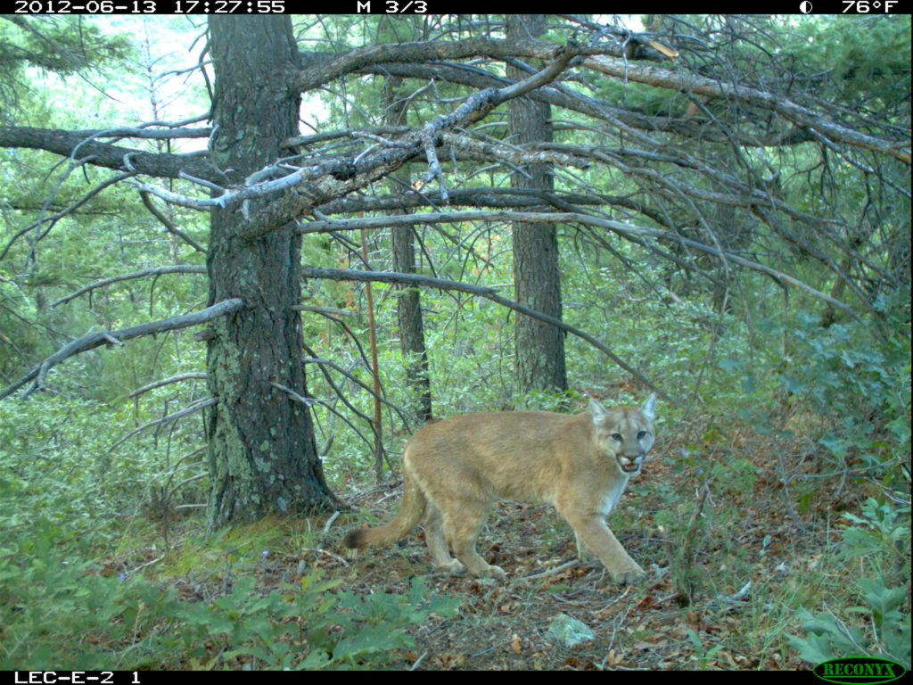 color photo taken by a remote camera of a young mountain lion next to a tree