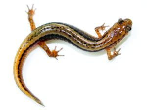 Northern Two Lined Salamander