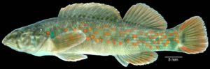 a minnow known as a Nothonotus darter