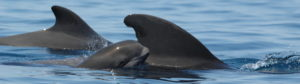 A mom/calf pair of short finned pilot whales