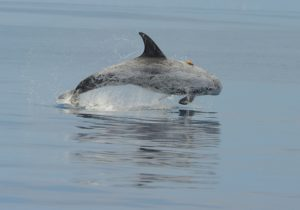 Risso's dolphin with a suction cup attached multi-sensor acoustic tag