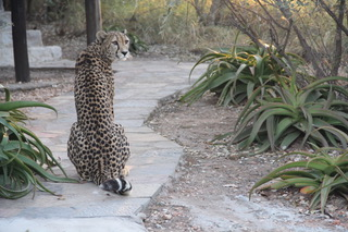 A cheetah rests on a path
