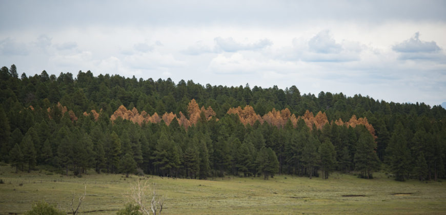 impact of roundheaded pine beetles on pine trees
