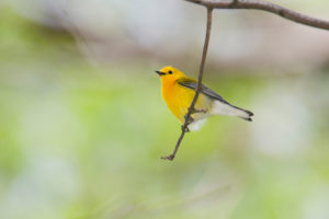 yellow Prothonotary Warbler on a small tree branch