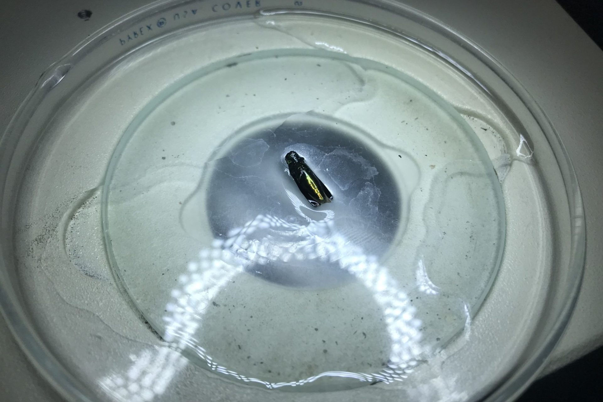 emerald ash borer in a petri dish, with liquid