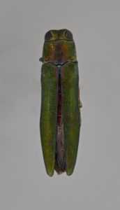 a close-up look at the emerald ash borer