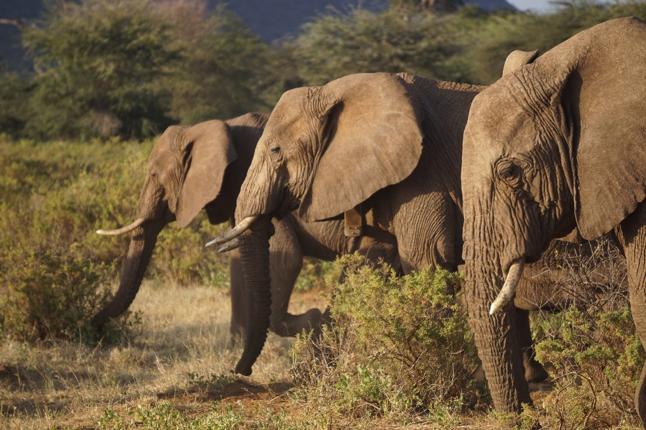 three elephants walking in the Samburu and Buffalo Springs National Reserve, Northern Kenya