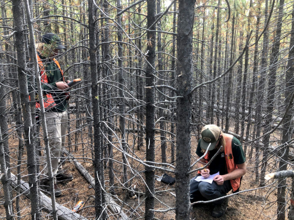 foresters measure forest regeneration in Yellowstone National Park