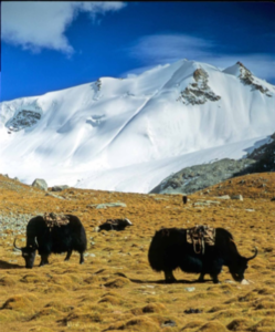 yaks grazing in the mountains, with a snow-covered range in the background