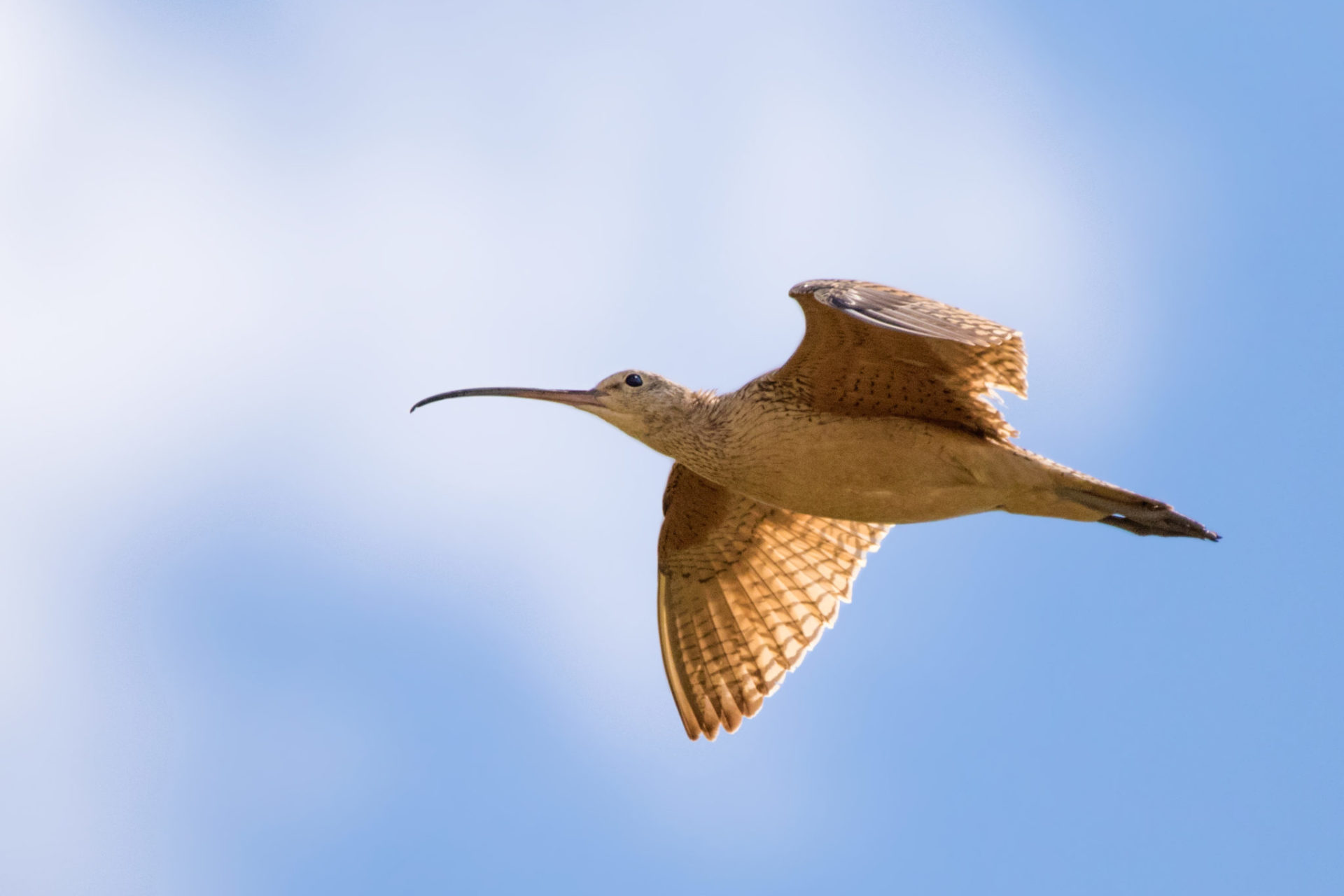 a long-billed curlew flying