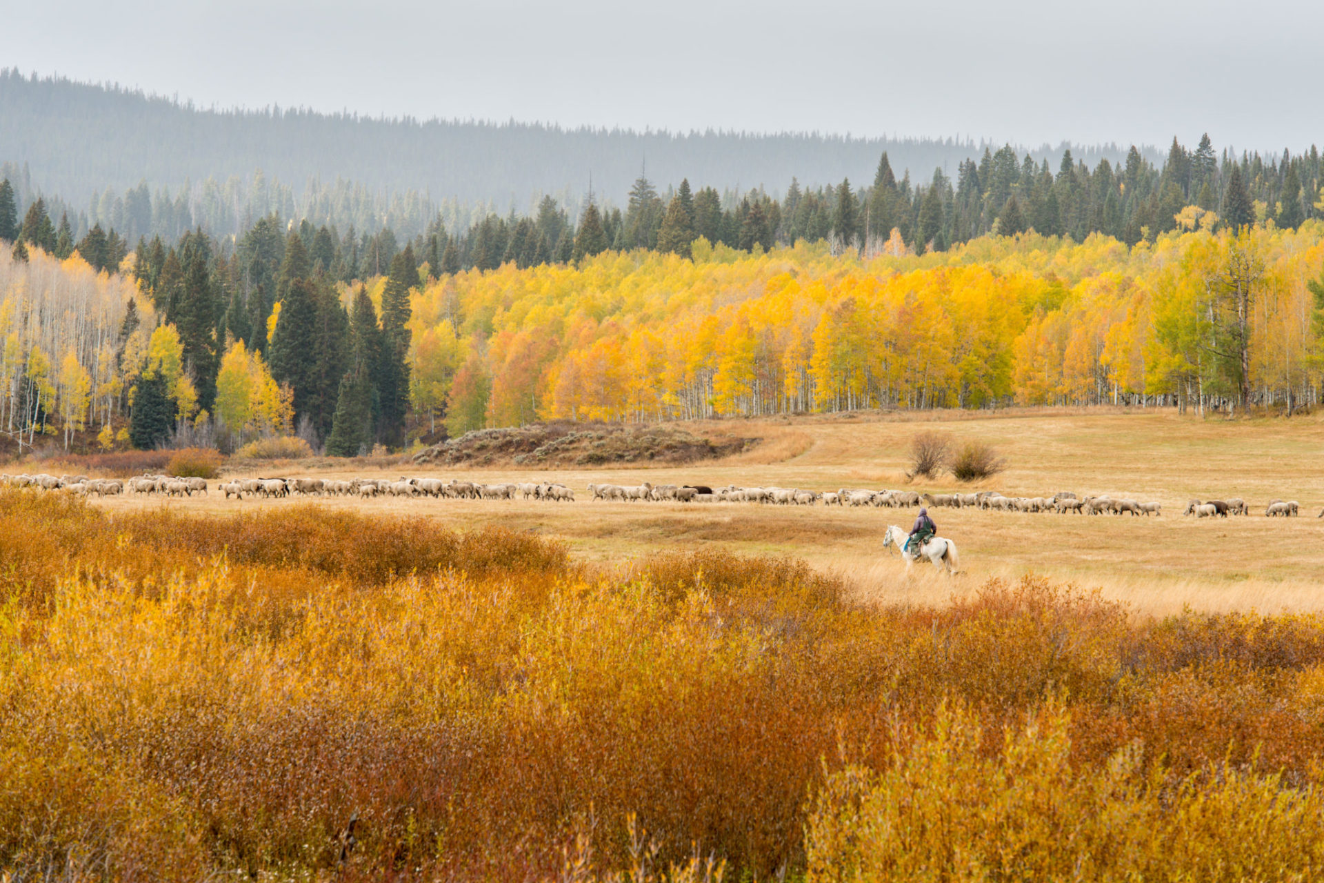 A shepherd moves a flock of sheep in North Park below Rabbit Ears Pass