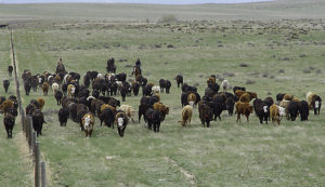 A large herd of cattle moves to a new pasture for grazing