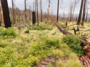a forest after the Las Conchas fire in northern New Mexico
