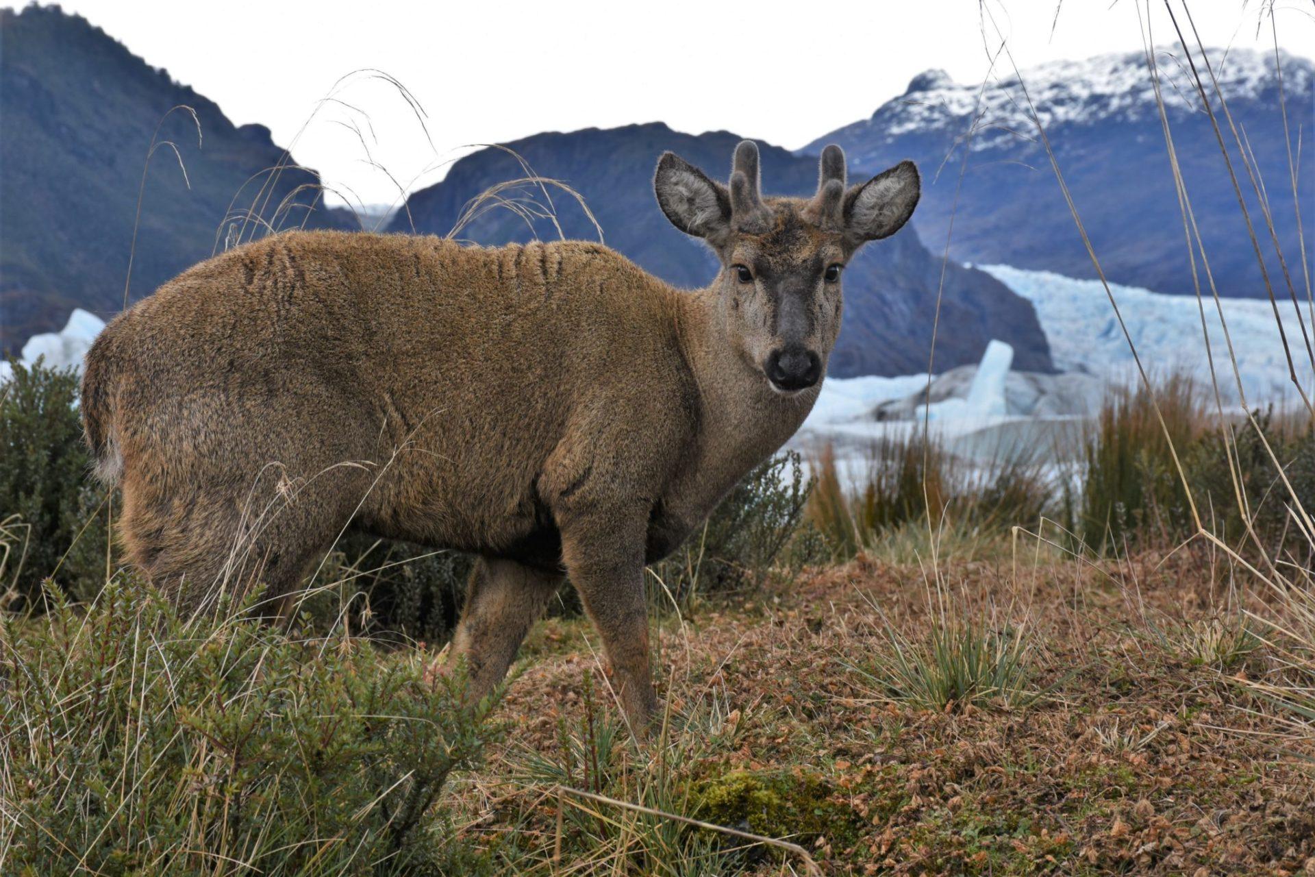 a male huemul in Chile