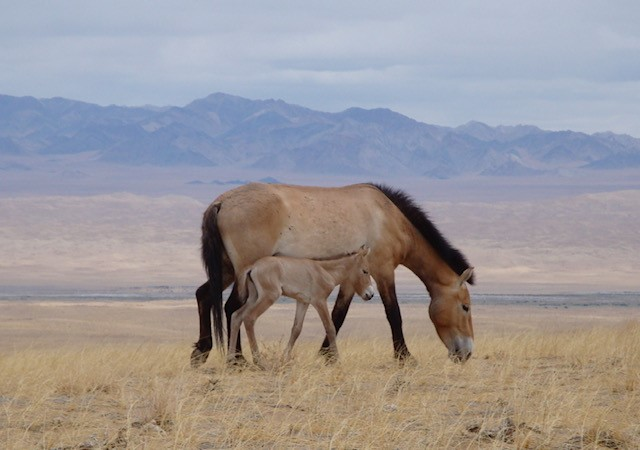 Przewalskis Horse Mare And Foal At Khomyn Tal Mongolia Copyright Association TAKH And Sarah R B King