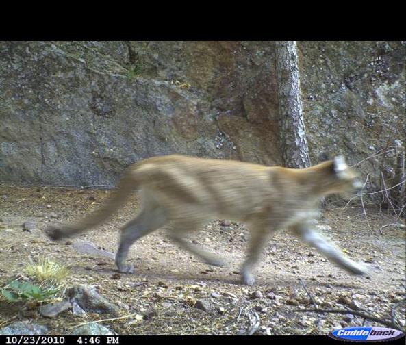 cougar on wildlife camera