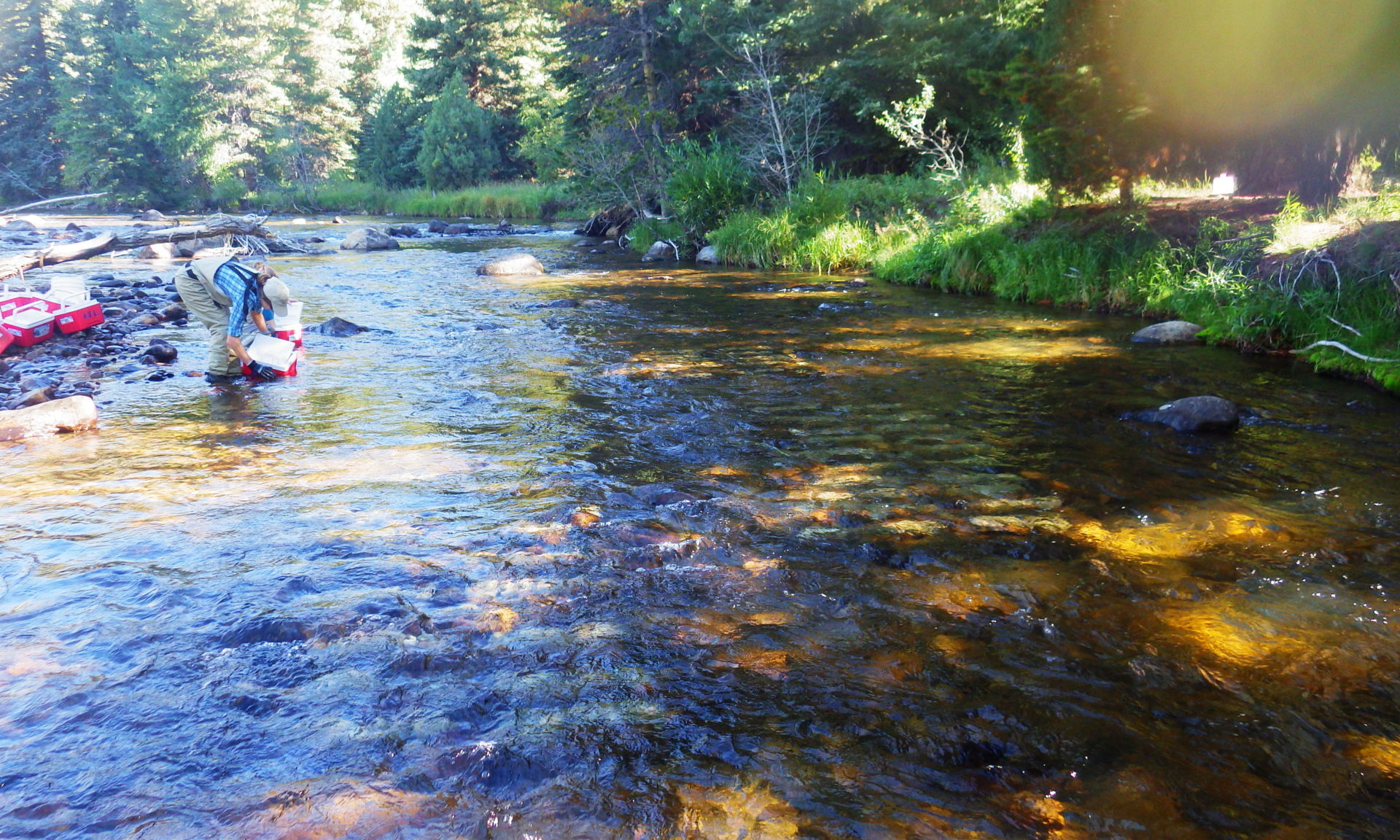 ecologist Janet Miller places rock trays in the Poudre River