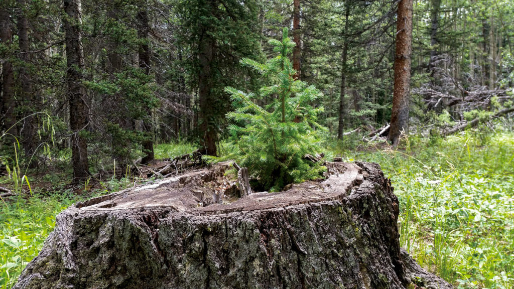 small fir tree growing in a large stump