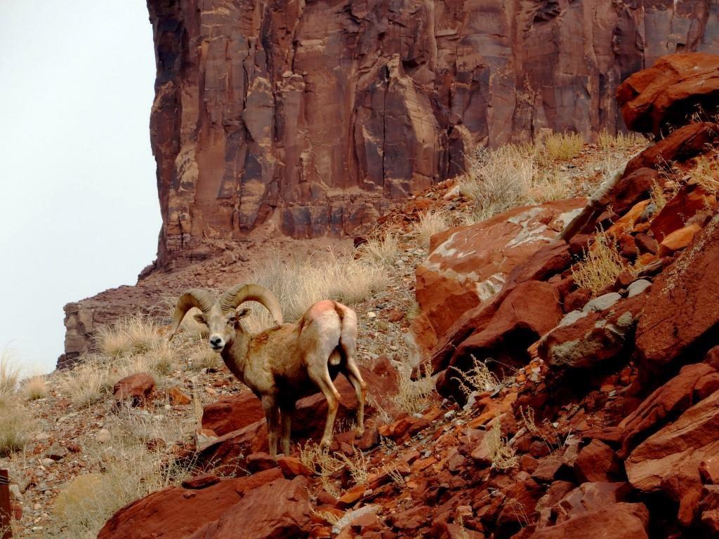 a bighorn sheep on Navajo Nation lands