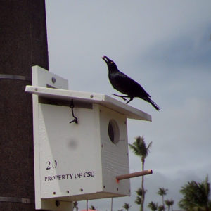 a Micronesia starling on top of a bird house in Guam