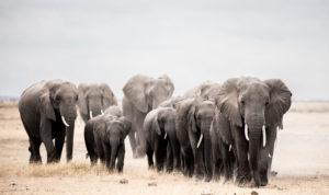elephants on the move
