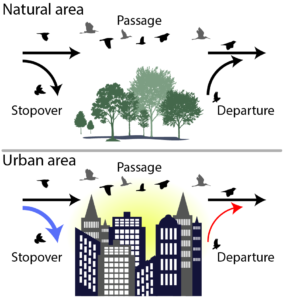 graphic showing birds flying over a natural area versus an urban area