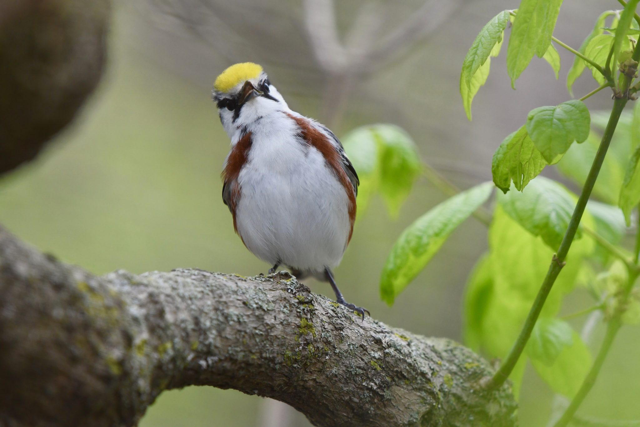 brown and white songbird with a yellow head