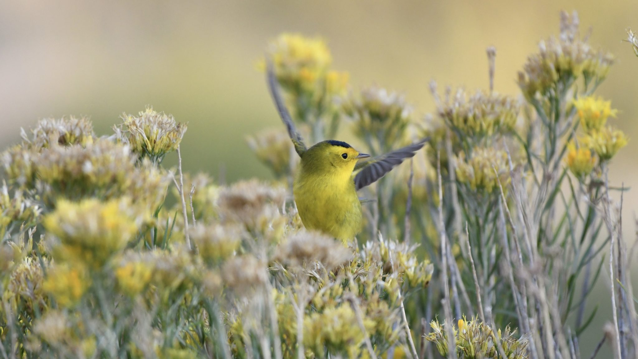 yellow songbird with a black head takes flight among flowers