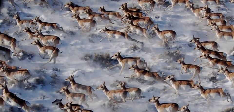 pronghorn migrating
